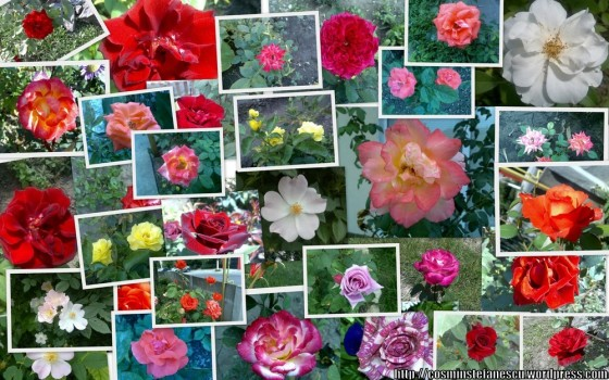 Colaj trandafiri