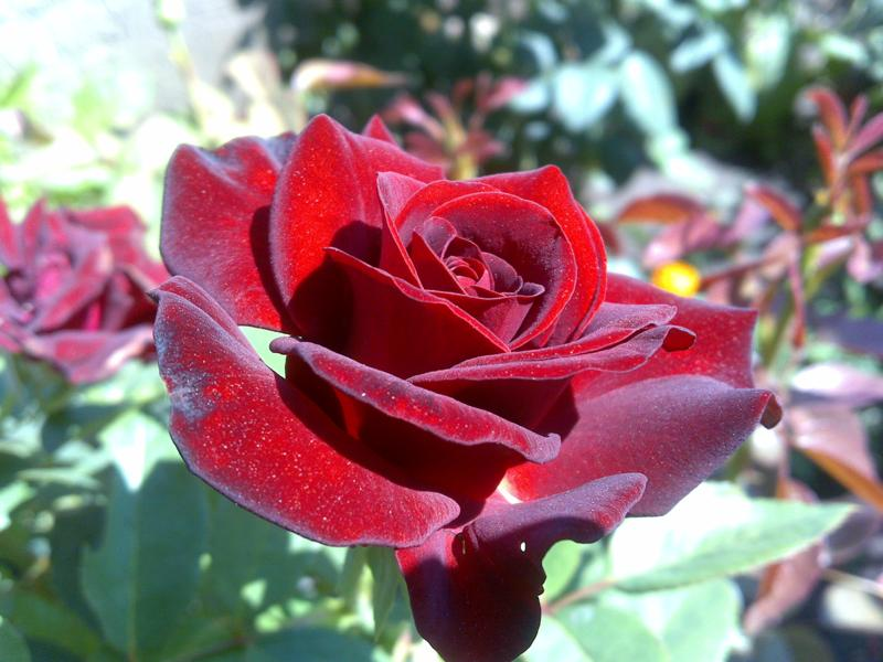 55. Gönülçelen -Inima furata - Heart Stealer - General Discussions - Comentarii - Pagina 37 Trandafiri-34