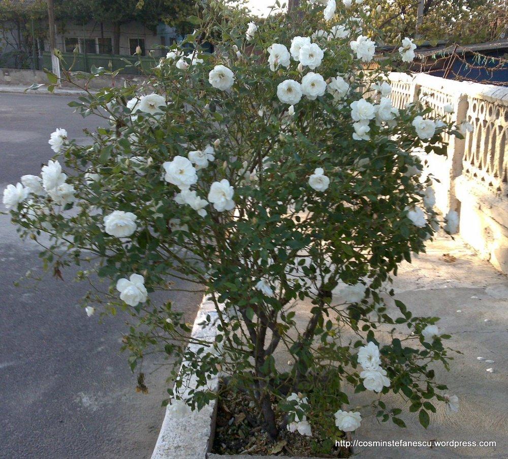 Tufă de trandafiri albi