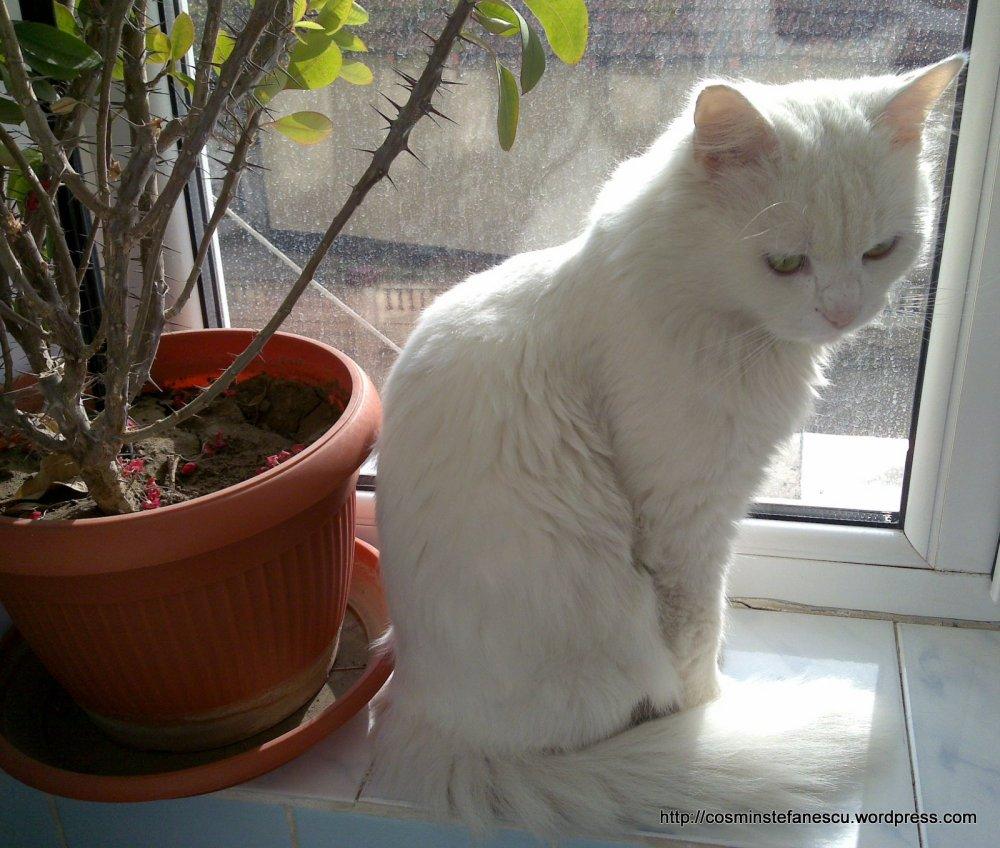 Pisicul meu - Amedeo