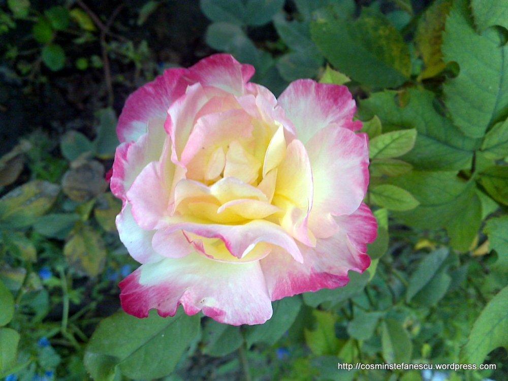 Trandafir înflorit - fotografii din arhiva personală