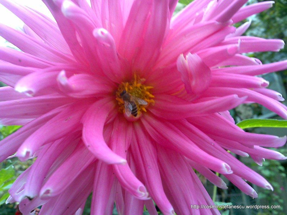 Dalie vizitată de o albină (Fam: Apis mellifera - albina europeană)