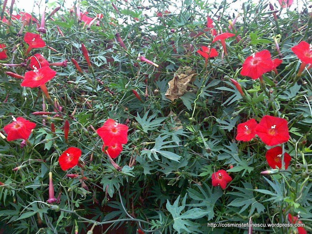 Floricele roşii