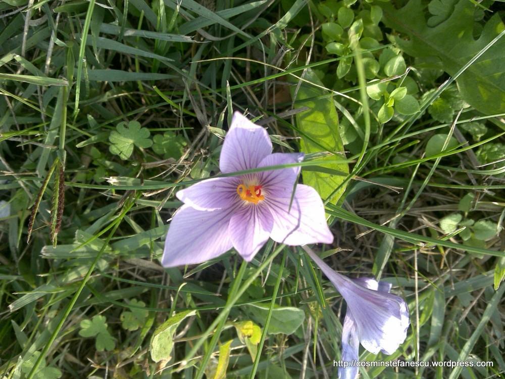 Brânduşa de toamnă - Colchicum autumnale