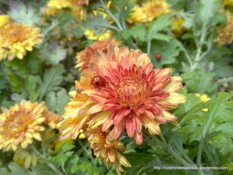 Gărgăriţă pe o floare galbenă
