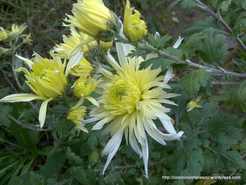 Crizanteme galbene - Fotografie: Cosmin Ştefănescu