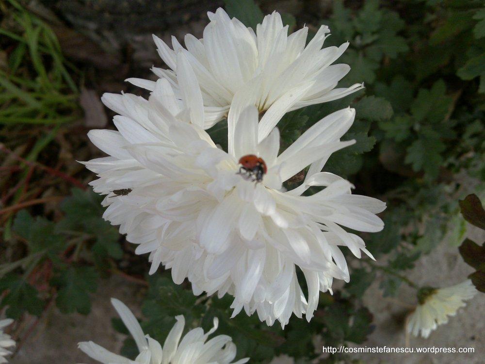 Floare albă și o gărgăriță