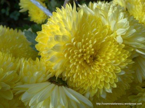 Flori galbene (tufănele) - Foto: Cosmin Ștefănescu