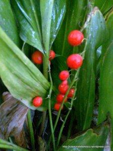 Fructe / semințe de lăcrămioare