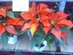 Euphorbia pulcherrima - Poinsetia - Steaua Crăciunului