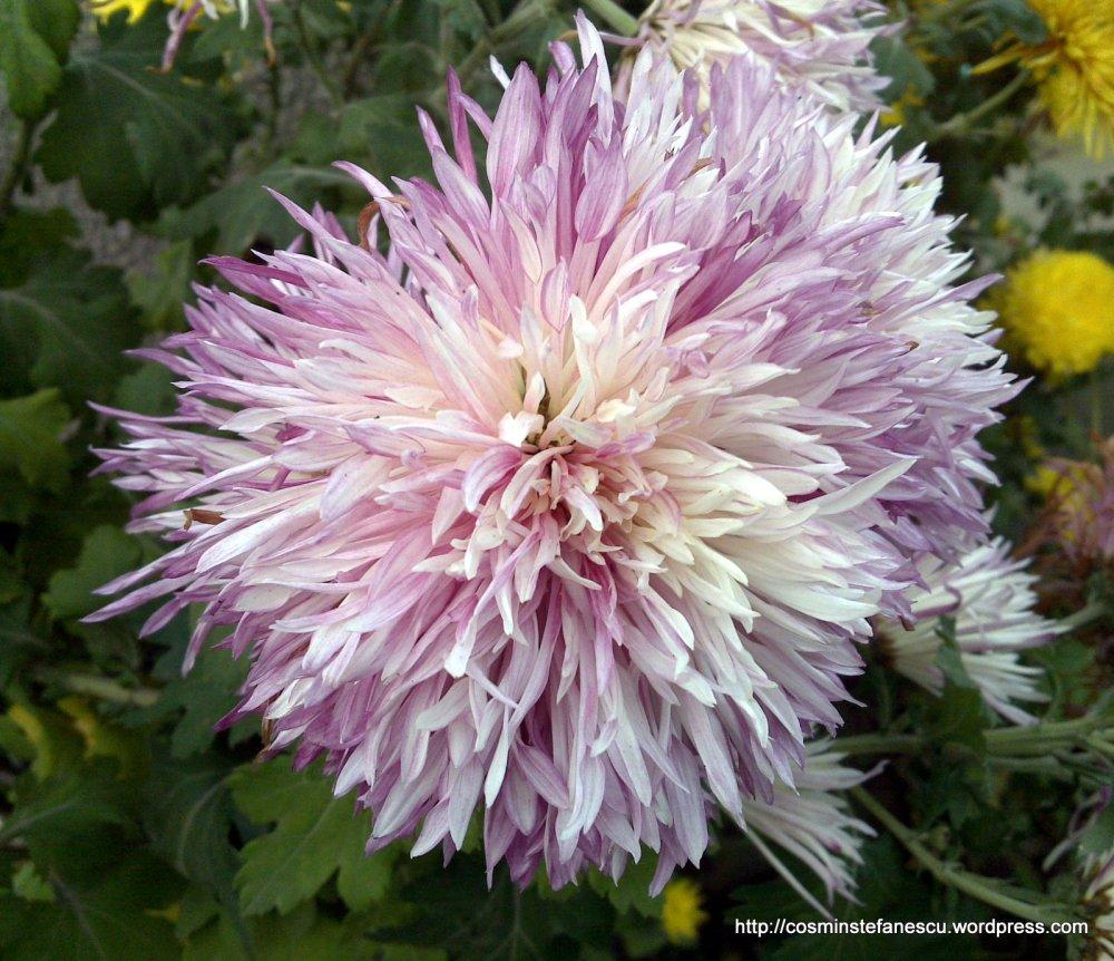 Crizantemă