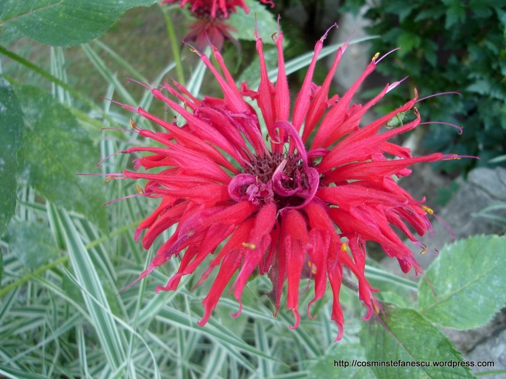 O floare roșie superbă (foto - Cosmin Ștefănescu)