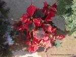 Poinsetia - Steaua Crăciunului