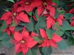 Euphorbia pulcherrima - Floarea Crăciunului