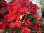 Steaua Crăciunului - Poinsetia