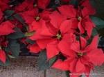Euphorbia_pulcherrima (2)