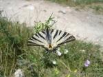 Fluturi coada randunicii - Foto executate in Cetatea DEVA