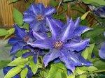 Clematita - o floare agatatoare superba (2)