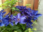 Clematita - o floare agatatoare superba (3)