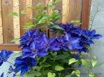 Clematita - o floare agatatoare superba (4)