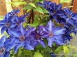 Clematita - o floare agatatoare superba (5)