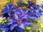 Clematita - o floare agatatoare superba (6)