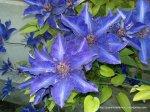 Clematita - o floare agatatoare superba (7)