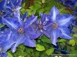Clematita - o floare agatatoare superba (8)
