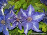 Clematita - o floare agatatoare superba