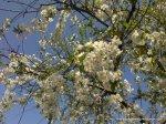 Corcodus alb inflorit (3)