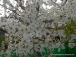 Corcodus alb inflorit (4)