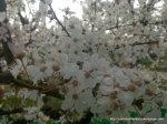 Corcodus alb inflorit