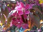 Corcodus rosu inflorit (2)