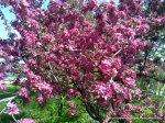 Corcodus rosu inflorit (3)