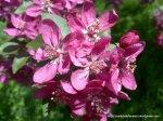 Corcodus rosu inflorit (4)