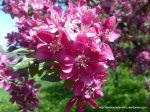 Corcodus rosu inflorit (5)