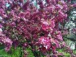 Corcodus rosu inflorit (6)