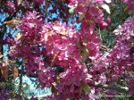 Corcodus rosu inflorit