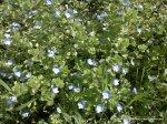 Floricele de camp albastre