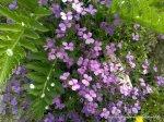 Floricele mov