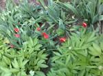 Lalele inflorite (4)
