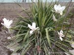 Magnolie alba inflorita (2)