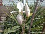 Magnolie alba inflorita (3)