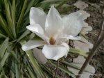 Magnolie alba inflorita (4)