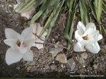 Magnolie alba inflorita