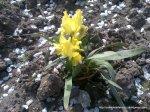 Stanjenei - irisi infloriti (2)
