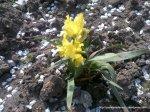 Stanjenei - irisi infloriti (3)