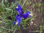 Stanjenei - irisi infloriti
