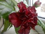 Trandafir japonez inflorit (2)