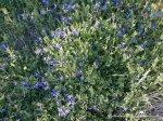 Cetatea de la Adamclisi - Flori albastre - Foto Cosmin Stefanescu 1 MAI 2010 (23)